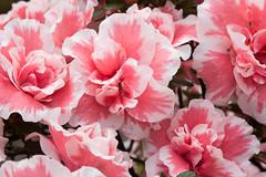carnation, flower, plant, pink, petal,
