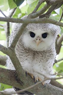 Bubo Sumatranus Barred Eagle Owl Avibase