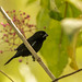 variable seedeater (Sporophila corvina)  espiguero variable