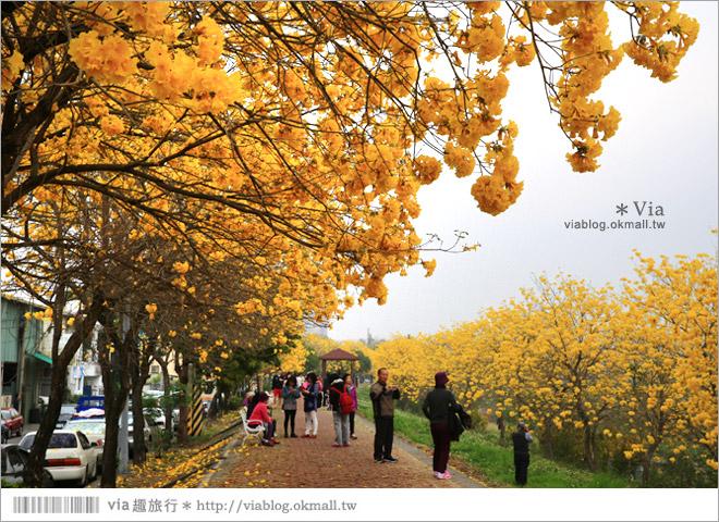 【嘉義景點】嘉義軍輝橋黃金風鈴木~全台最美的堤防!開滿滿的風鈴木美炸了!18