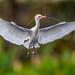 Cattle Egret, Wakodahatchee Wetlands by Bill Varney