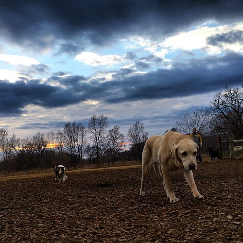 Under the darkened skies #Daisy #Cupcake #dogpark