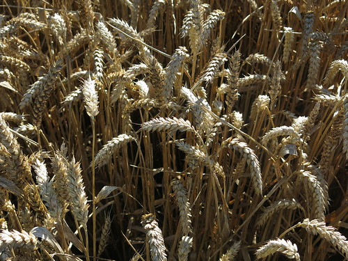 Wheat - note the absence of long awns