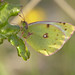 Berger's Clouded Yellow (Colias alfacariensis) by celerycelery