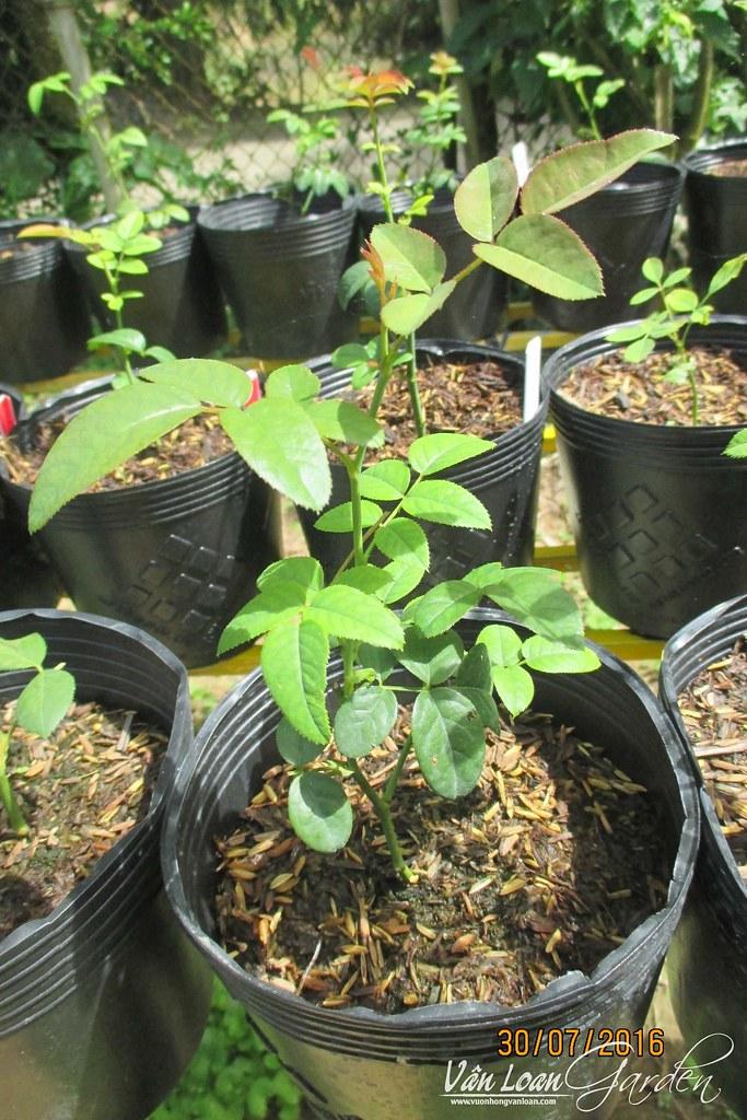 từ lúc cây hoa hồng giâm cành đã ra rễ, khoảng 1-1,5 tháng cây hồng sẽ có chiều cao trung bình 15-25cm