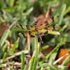 Celithemis eponina (Halloween Pennant Dragonfly)