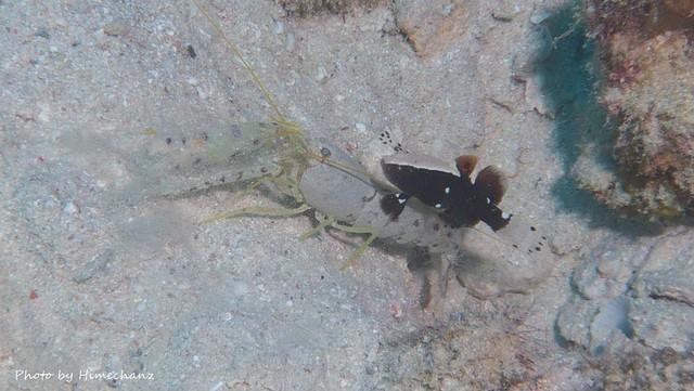 テッポウエビの方が全然でかいやん、オドリハゼ幼魚♪