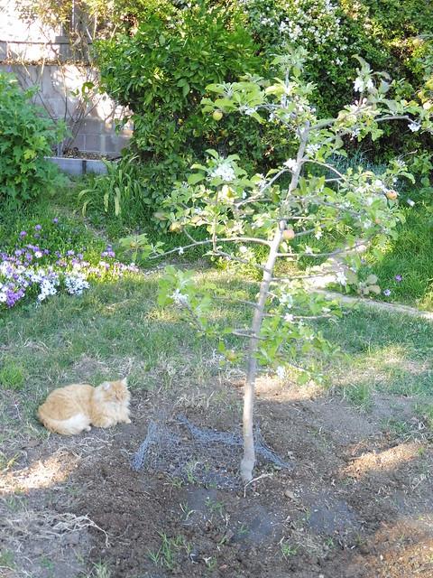 P1030197 Dewey under dorsett apple Goleta