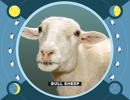 Bull Sheep