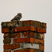 Little owl (Athene noctua) Kuvik