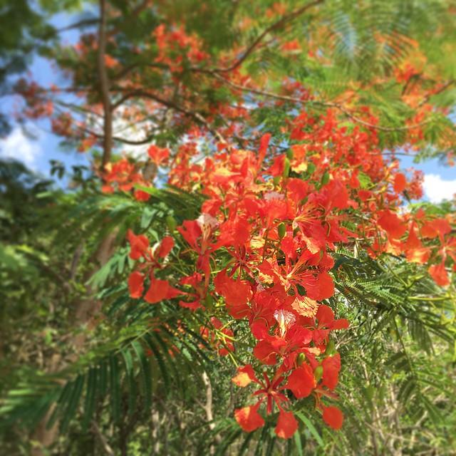 Flame tree at Amanwana