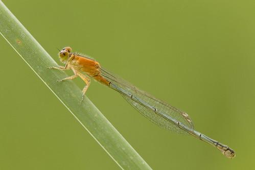 IMG_6534 Ischnura senegalensis