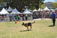 dog sports(1.0), animal sports(1.0), dog(1.0), sports(1.0), pet(1.0), mammal(1.0), conformation show(1.0), dog agility(1.0),