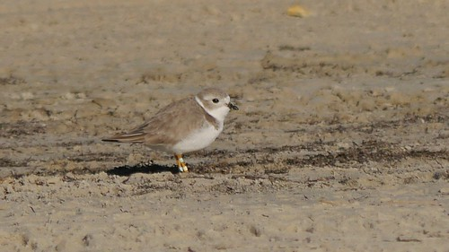 Piping Plover 19 - 1