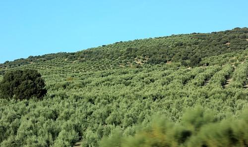 Olives near Campotéjar, Spain