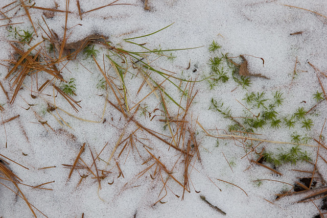 Pine needles, moss and snow