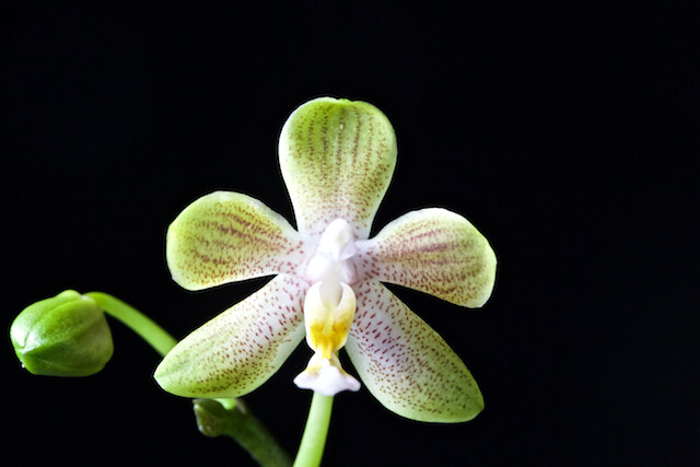 Phalaenopsis  amboinensis f.flavida x celebensis 16049659904_a2c0db8f3c_z