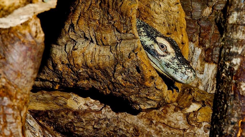 Komodo Dragon (Varanus komodoensis)_4