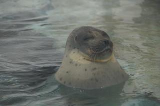 121 Osaka aquarium - zeehond