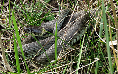 Grass Snake Natrix natrix Tophill Low NR, East Yorkshire March 2015