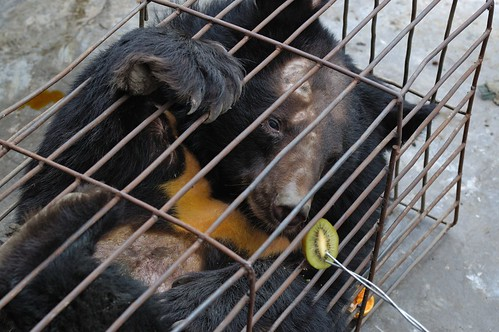 Caged bears Chengdu Oct 2006 Kees