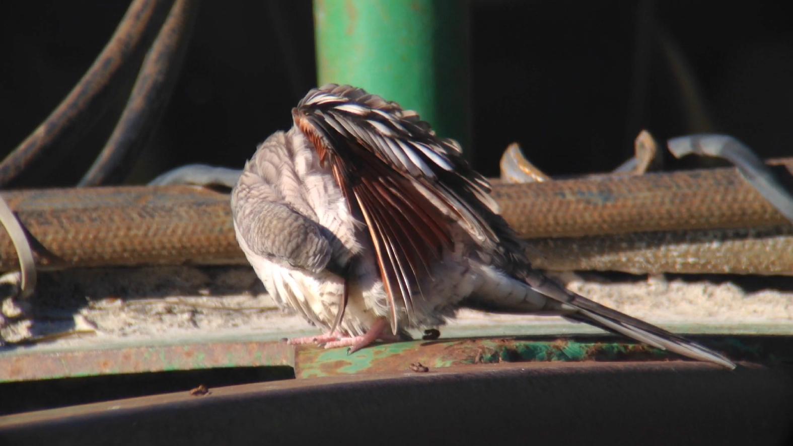 Inca Doves Privett Store Road Miller County GA 011015 5 327