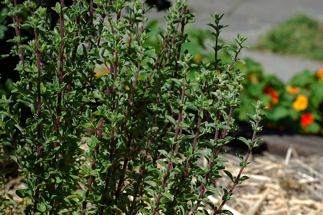 Our marjoran plant by Eve Fox, Garden of Eating blog