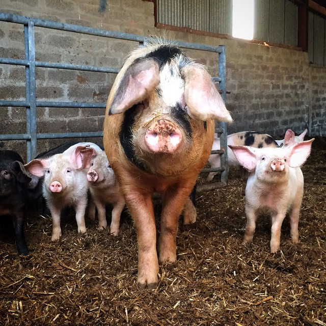 Oink!🐷Visiting Uncle Ian's farm.