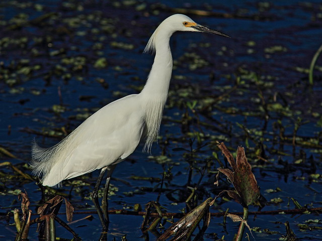 Snowy Egret 2-20150212