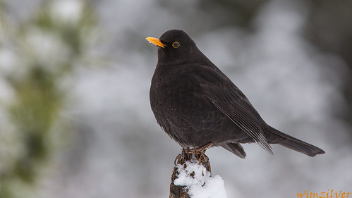 Merel - Common Blackbird