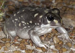 White-spotted Frog (Heleioporus albopunctatus)