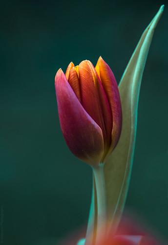 Tulip // 02 03 15