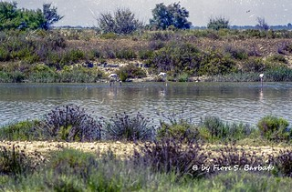 Saintes-Maries-de-la-Mer [F], 2000, Le Petit-Rhône, spiagge, resti romani, animali in libertà e fenicotteri rosa.
