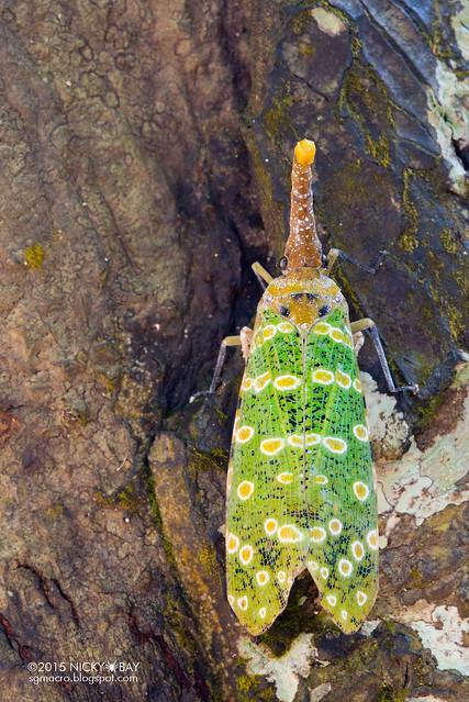 Lantern bug (Pyrops sidereus) - DSC_3042