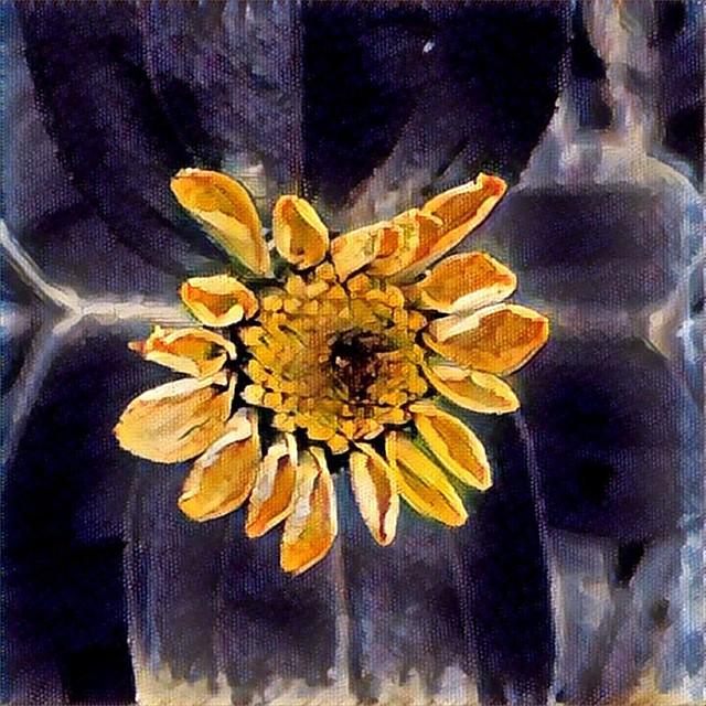 Baby Zinnia #zinnia #zinnias #flowers #patiogarden #prisma