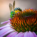 Sweat Bee on a Coneflower by boblivious