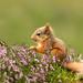 Eekhoorn / Red squirrel / Écureuil by Gladys Klip