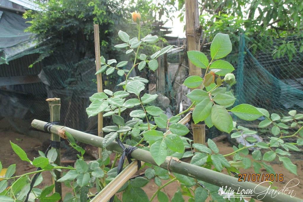 tu thiet ke gian cho hoa hong leo (11)-vuonhongvanloan.com