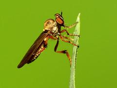 Tiny Robberfly