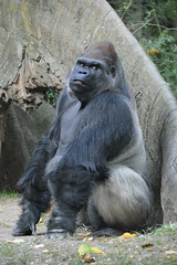 Photoshooting The Congo Gorilla Forest at the New York City Bronx Zoo