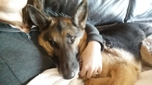 Even big giant shepherds demand snuggles. Alix is a great snuggle buddy