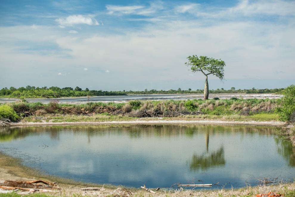 El Palo Borracho (Ceiba Speciosa), más conocido como el Samu'u, es una especie común en los paisajes del Chaco, con su reconocida forma de botella, en donde almacena agua en tiempos de sequía. (Tetsu Espósito)