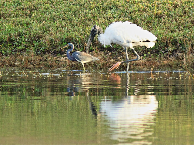 Tricolored Heron and Wood Stork 4-20141229