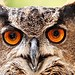 Bird of prey - Hoolio - Eurasian eagle owl