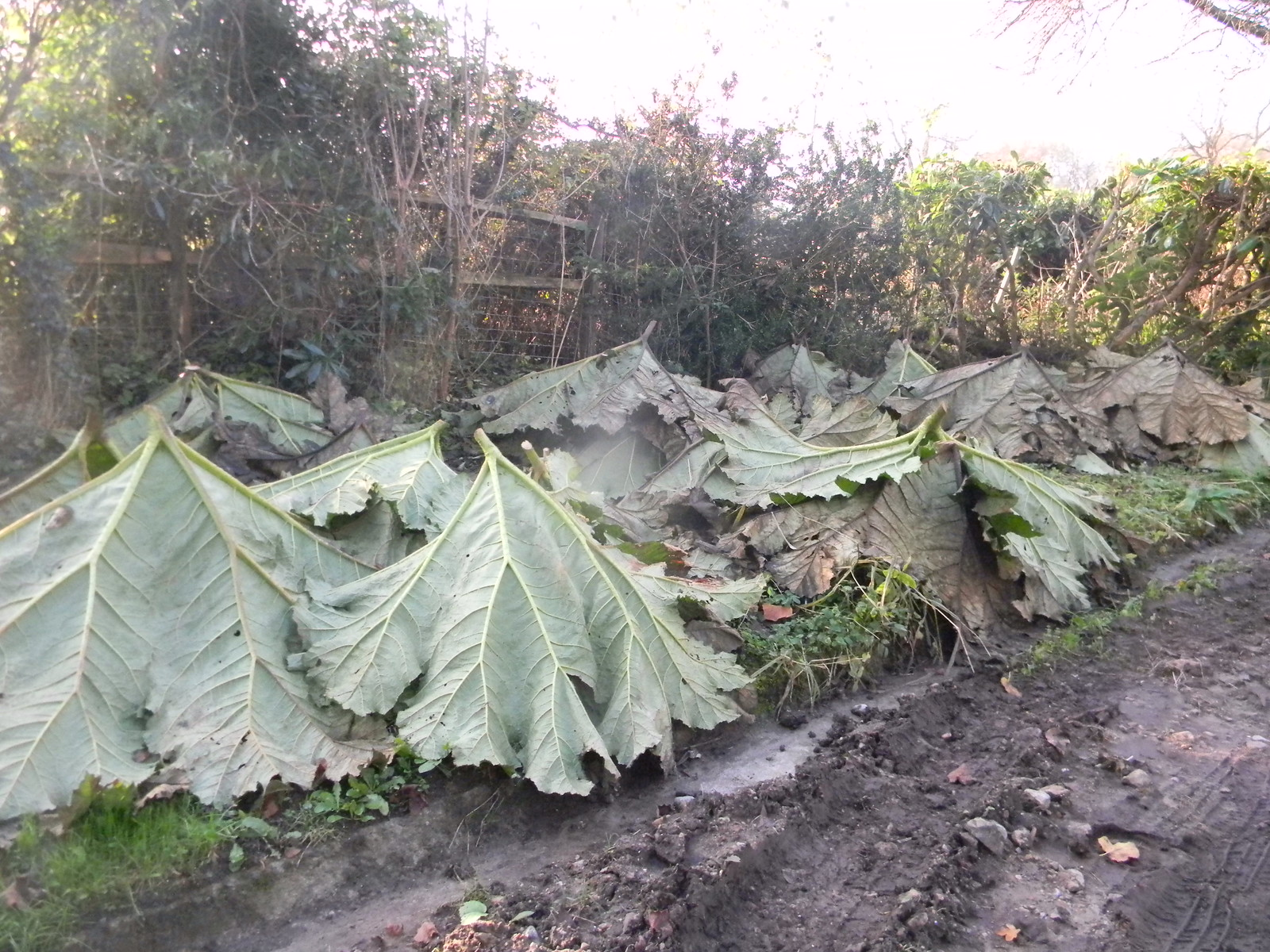 Gunnera leaves Black Charles, Leigh to Sevenoaks