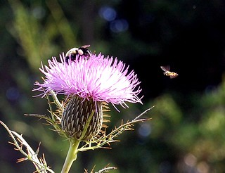 Close-up of bees attracted to a pink thistle.