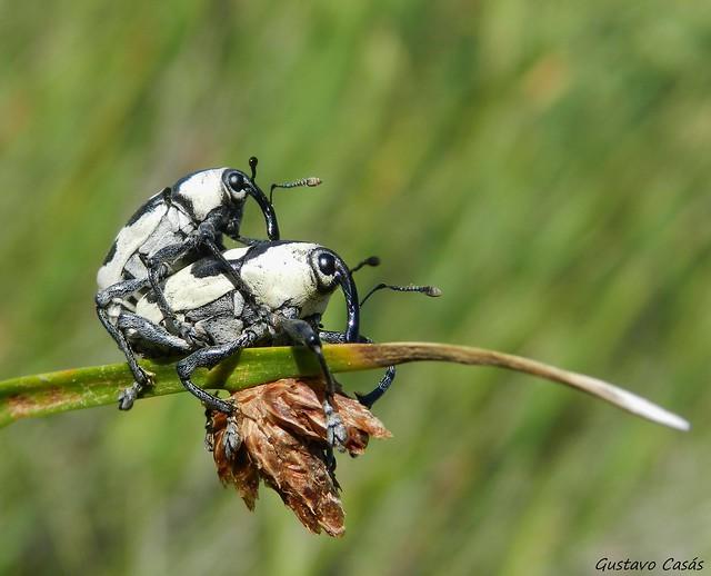 Gorgojos (Cholus fasciatus)