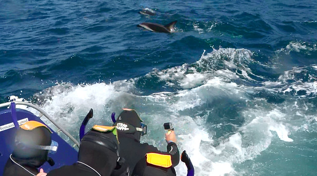 Dolphin Encounter in Kaikoura, New Zealand