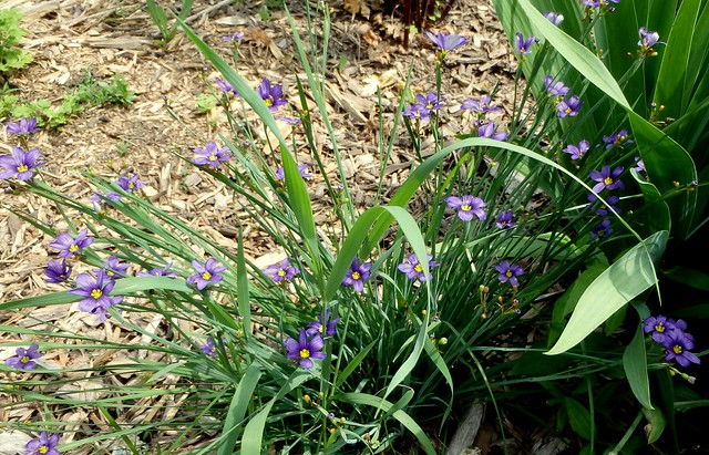 blue-eyed grass with about 40 blooms