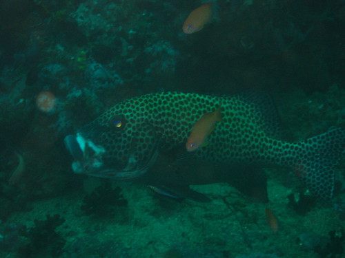 Spotted Sweetlips getting cleaned, Escarceo Point, Puerto Galera